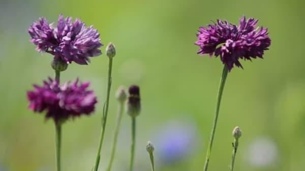 Fleurs violettes abondance