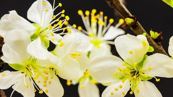 Fleurs blanches ouvertes
